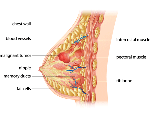 Anatomy of a woman's breast